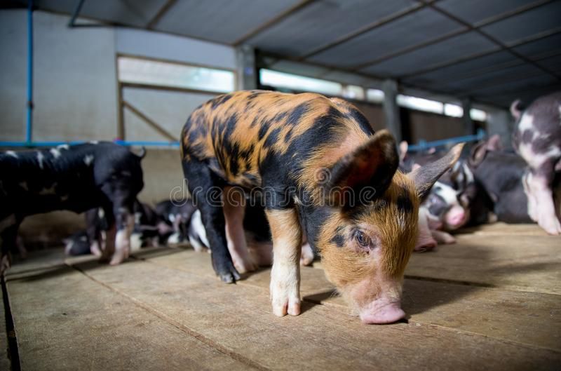 Pig Business. Swine farm with black pig name Berkshire stock photography