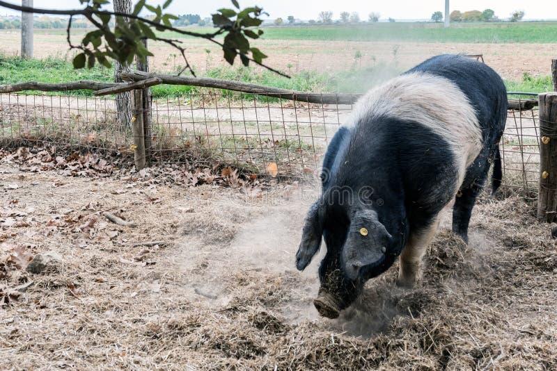 Pig of Cinta Senese stock photography