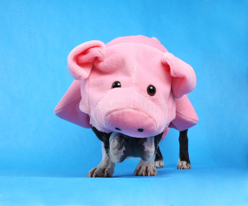 Pig dog royalty free stock photo