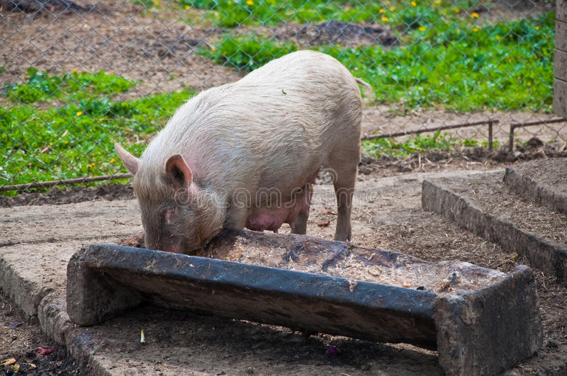 Pig eating from trough stock photos