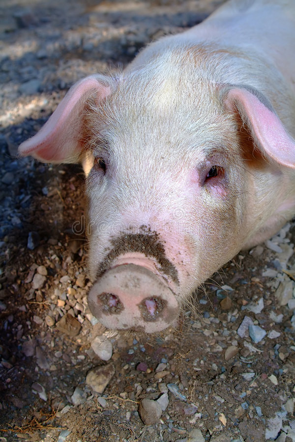 Pig face royalty free stock image