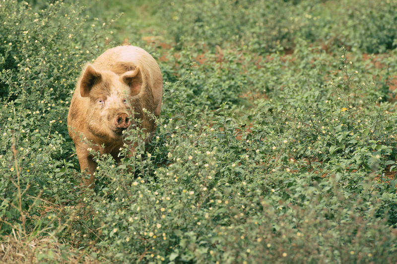 Pig on the farm royalty free stock photo