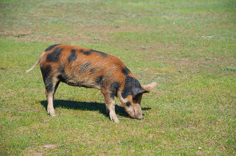 Pig farm. Pigs in field. Pig running on a green meadow royalty free stock images