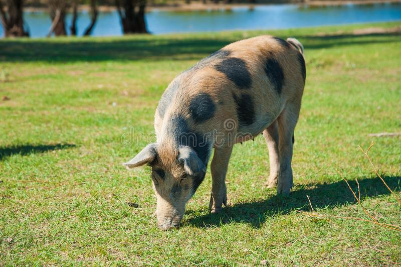 Pig farm. Pigs in field. Pig running on a green meadow royalty free stock photography