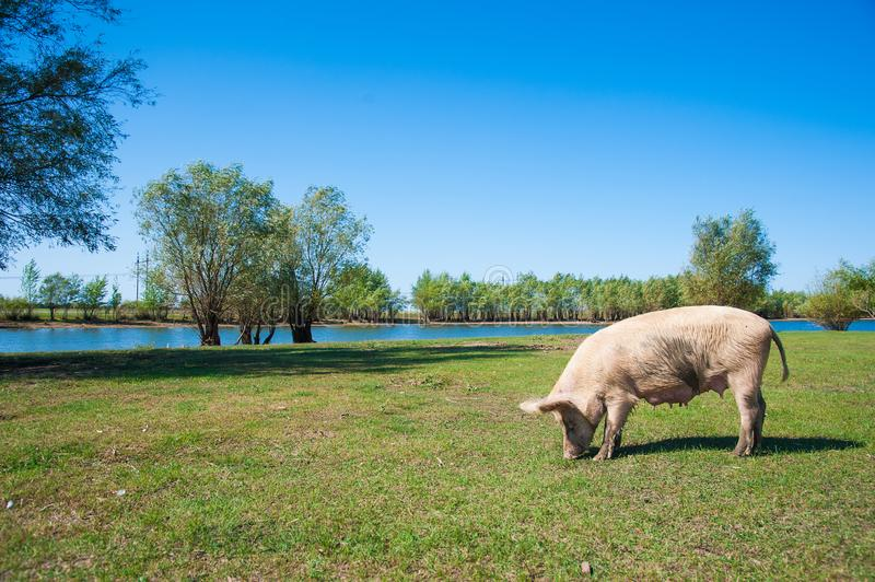 Pig farm. Pigs in field. Pig running on a green meadow stock image