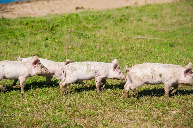 Pig farm. Pigs in field. Pig running on a green meadow royalty free stock photo