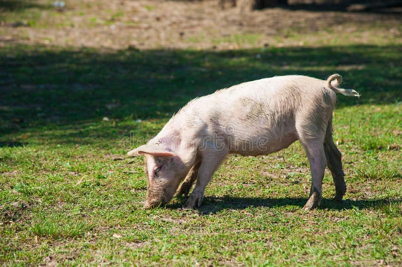 Pig farm. Pigs in field. Pig running on a green meadow stock photos