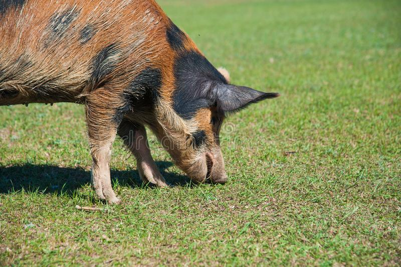 Pig farm. Pigs in field. Pig running on a green meadow stock photo