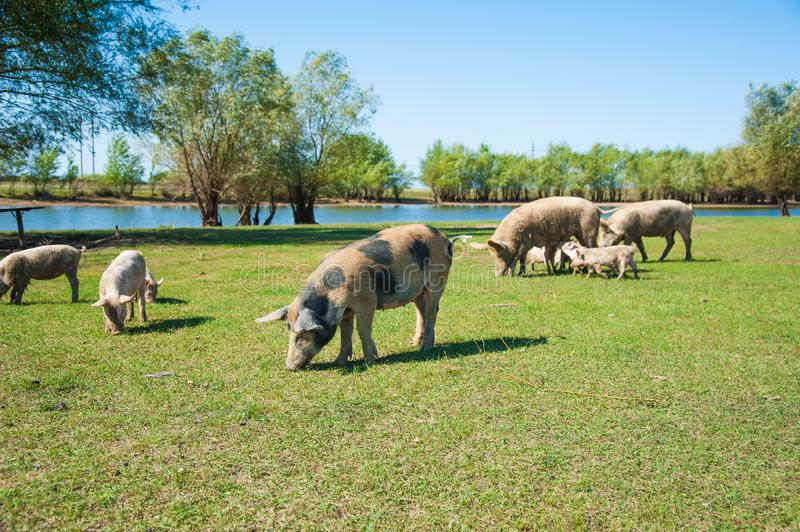 Pig farm. Pigs in field. Pig running on a green meadow stock photography
