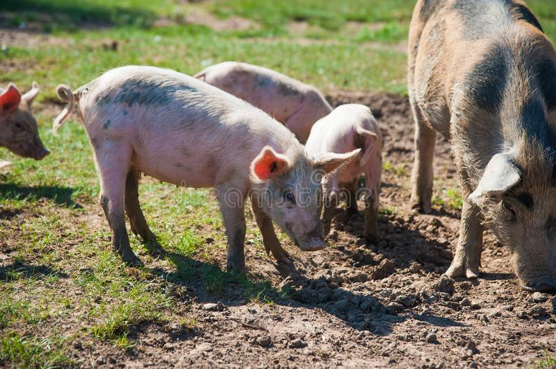 Pig farm. Pigs in field. Pig running on a green meadow royalty free stock photos