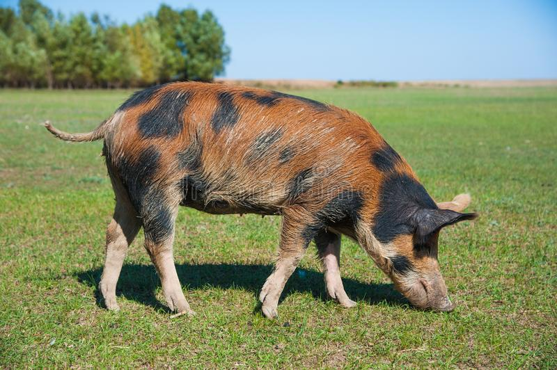 Pig farm. Pigs in field. Pig running on a green meadow royalty free stock image