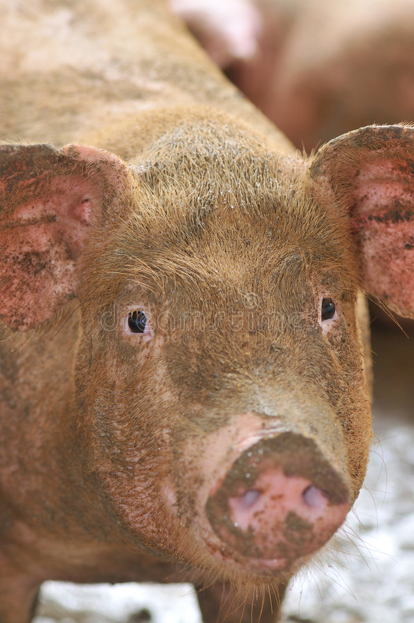 Pig Farming Series 6. Female pigs in an enclosure stock image