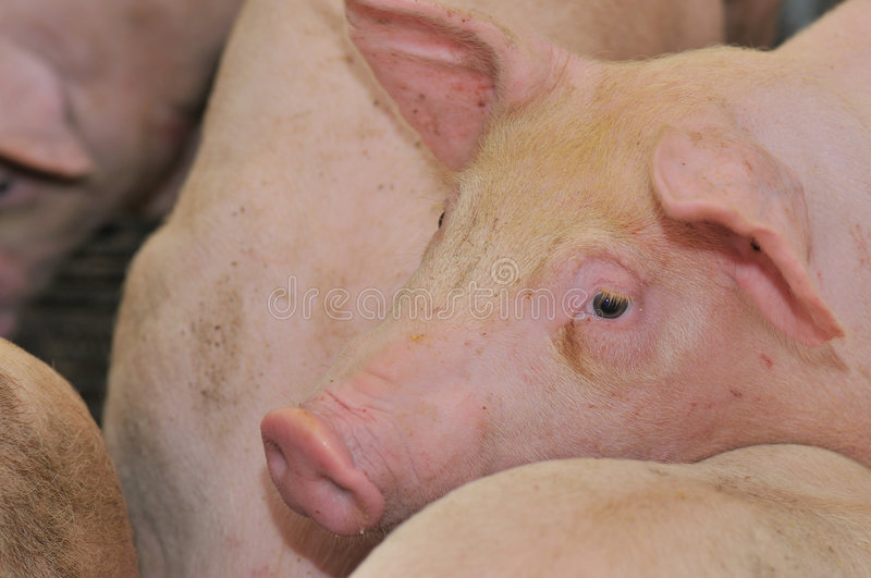 Pig Farming Series 7. Female pigs in an enclosure stock images