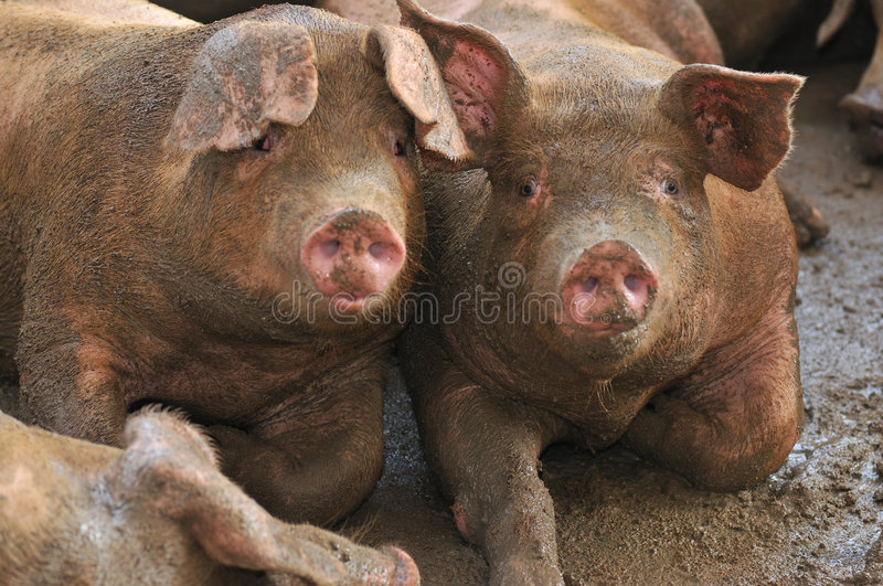 Download Pig Farming Series 8 stock photo. Image of domestic, breed - 5392630