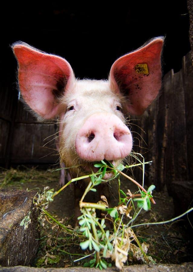 Pig feeding stock photos