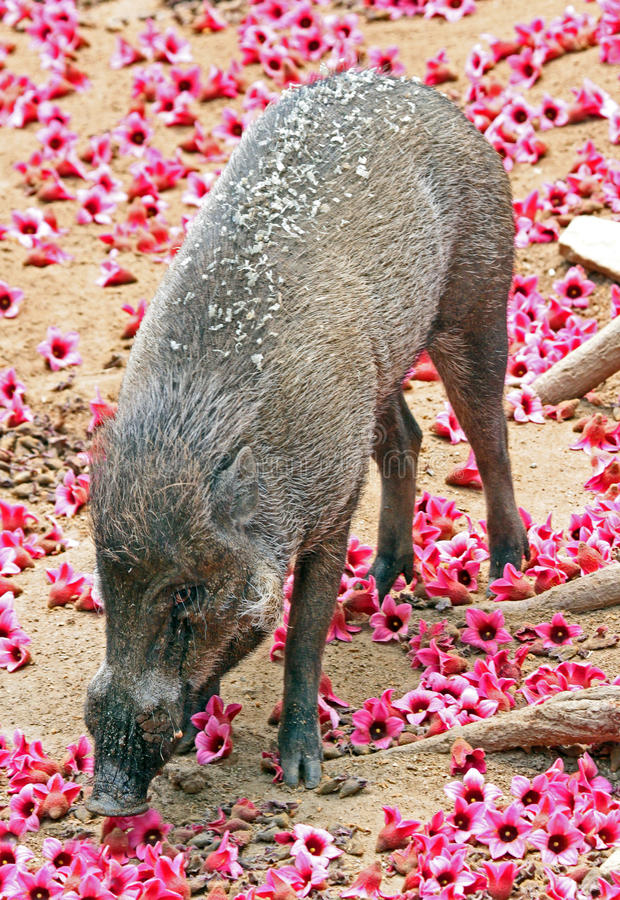 Pig with flowers royalty free stock photo