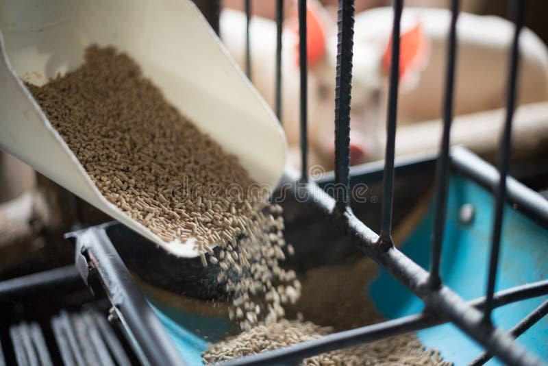 Pig food, feeding food to pig. Pig food, animal feed in the farm, feeding food to pig royalty free stock photos