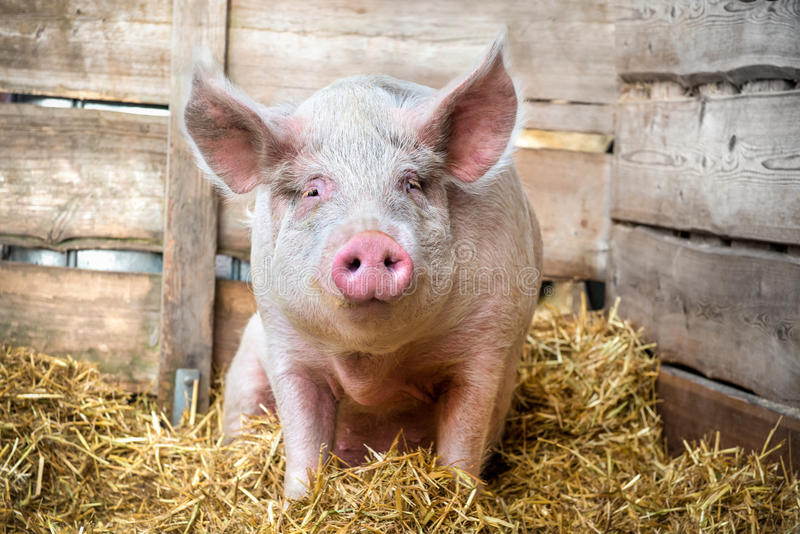 Pig on hay and straw stock photos
