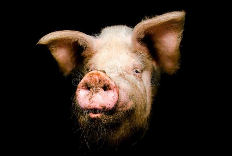 Pig head stock photos