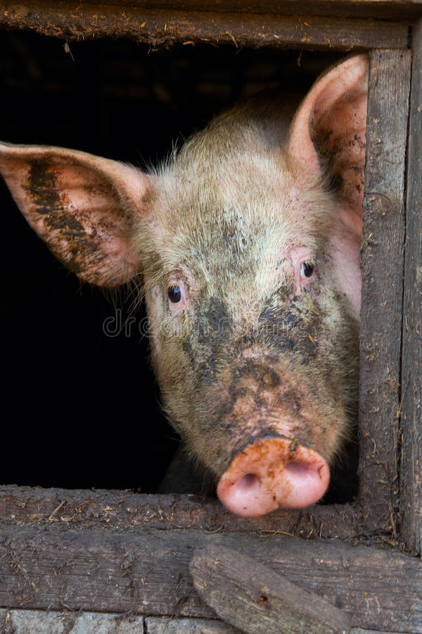 Free Pig In A Stall Stock Photos - 11035373