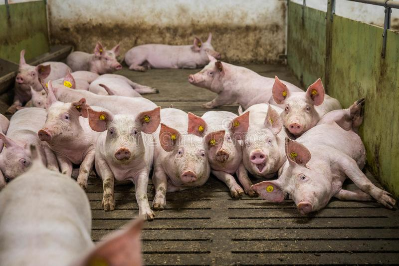Pig indoor on a farm in Danmark. swine in the stald. Happy pigs on pig farm/farm  in Danmark swine in the stald royalty free stock photos