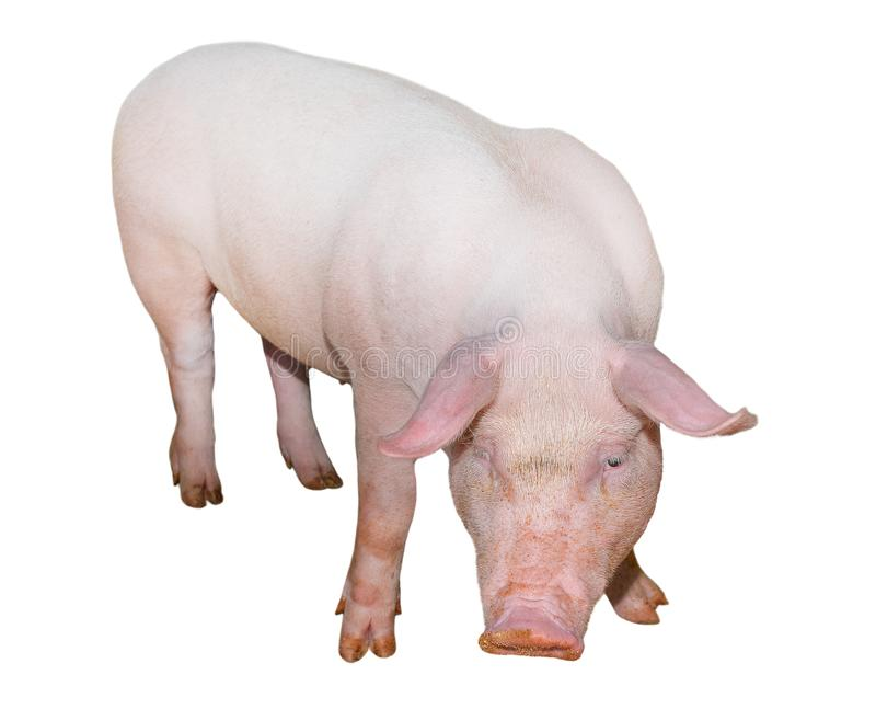 Pig isolated on white background full length. Very funny and cute pink pig standing and looking directly into camera. royalty free stock photos