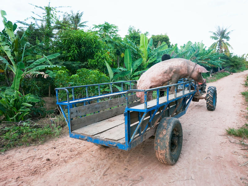 Pig on its way to the butcher