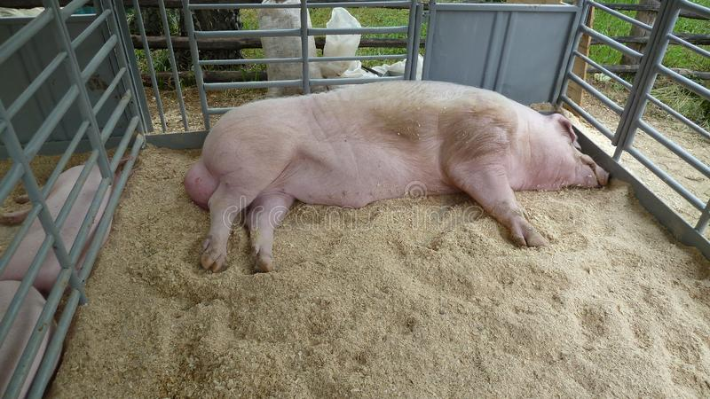 Pig with large testes lies in aviary with sawdust. Big hog. Red hogging swine on farm. The boar sleeps in pen royalty free stock photos