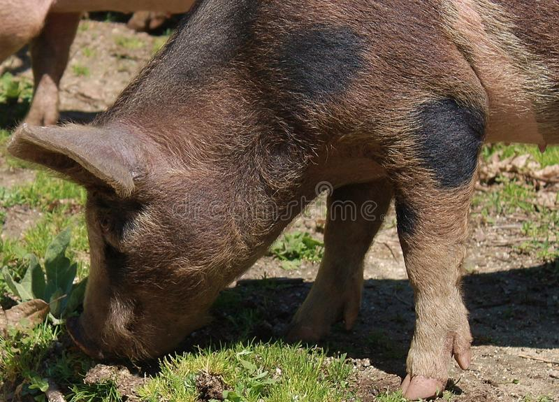 Pig, Pig Like Mammal, Mammal, Fauna stock photography