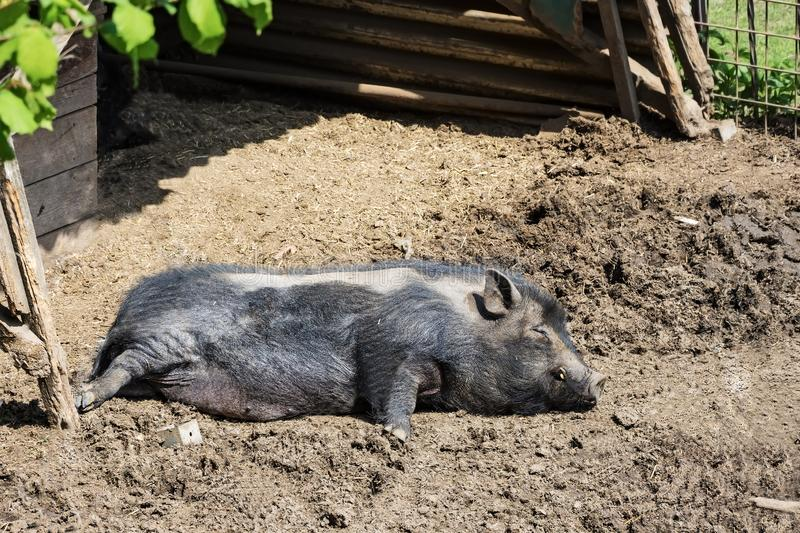 Pig lying and resting in the mud stock images