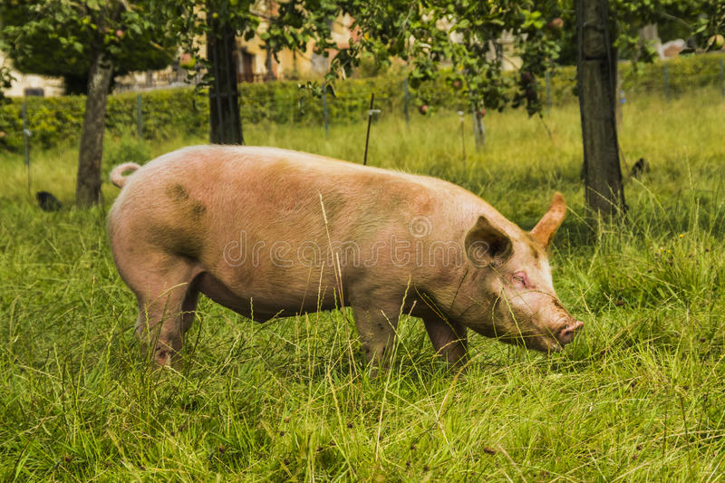 Pig in a medow stock photo