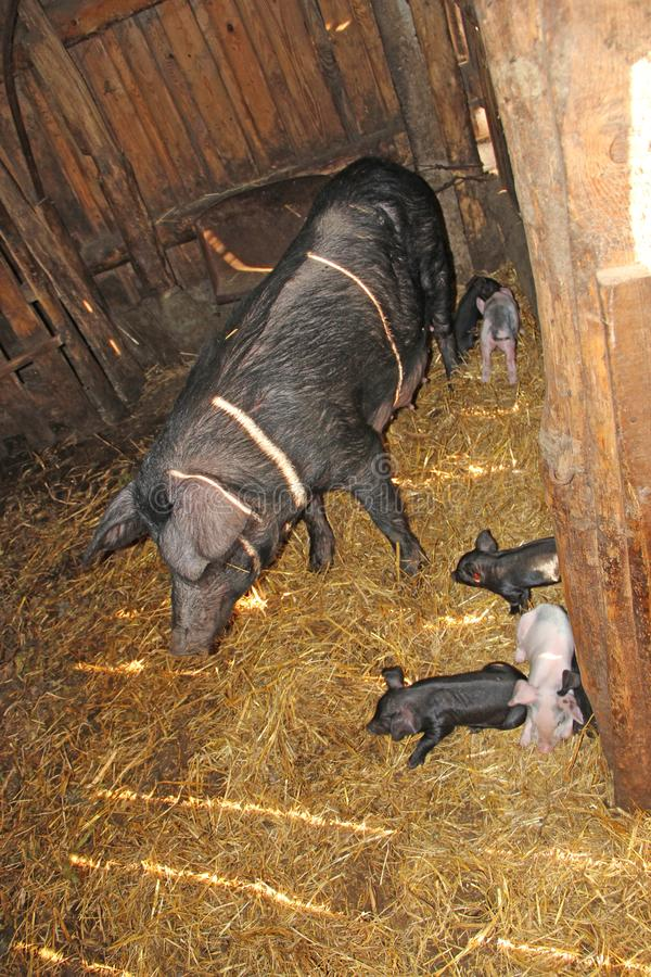 Pig mother and pigs in barn. Brood of little pigs on farm. Pig family stock photo