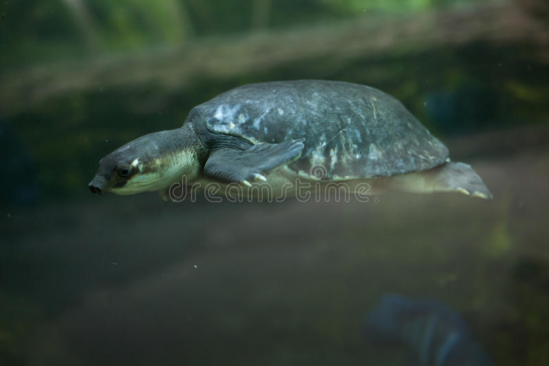Pig-nosed turtle (Carettochelys insculpta). royalty free stock image