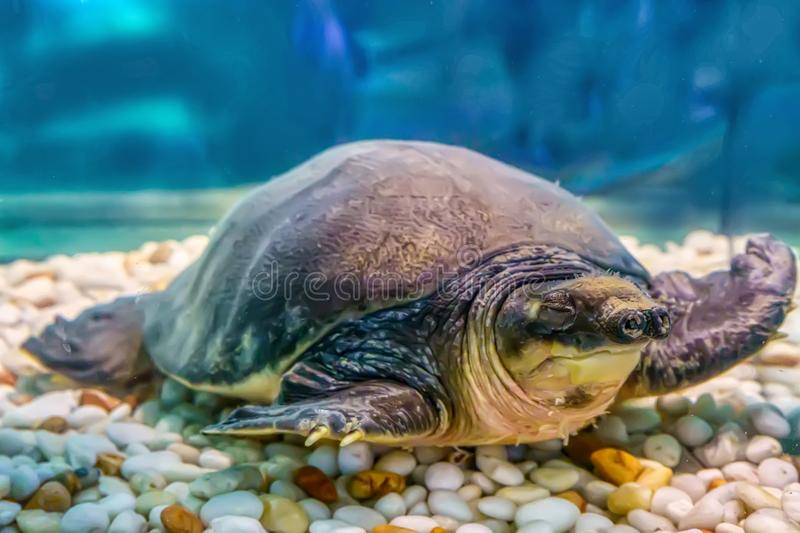 Pig-nosed turtle royalty free stock image