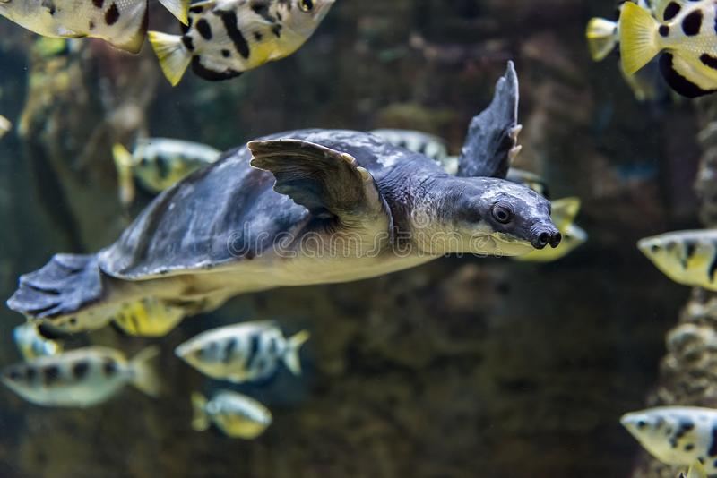 Pig nosed turtle swimming in water royalty free stock photo
