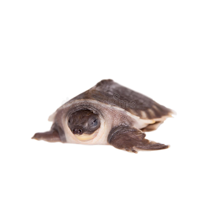 The pig-nosed turtle on white royalty free stock images