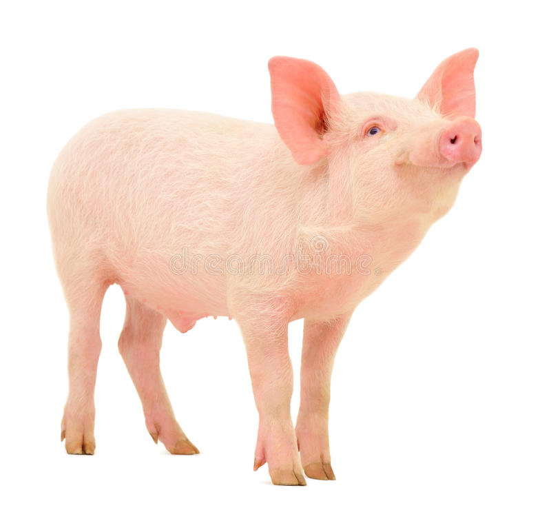 Free Pig On White Royalty Free Stock Images - 24043629