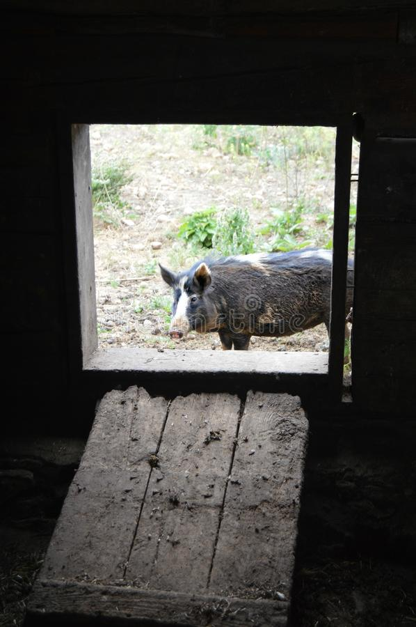 Pig Outside the Barn. A pig just outside the pigpen at Old World Wisconsin in Eagle, WI stock photos