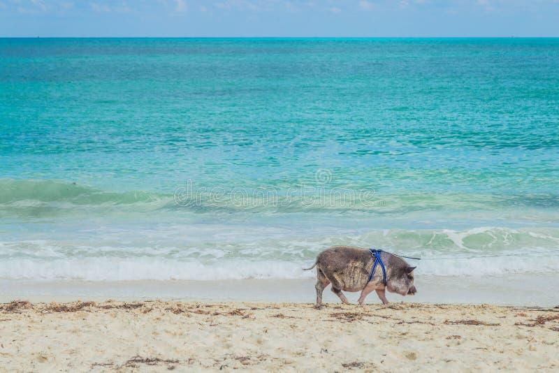 Pig på stranden smutsig strand Spädgris under palmträden arkivbilder