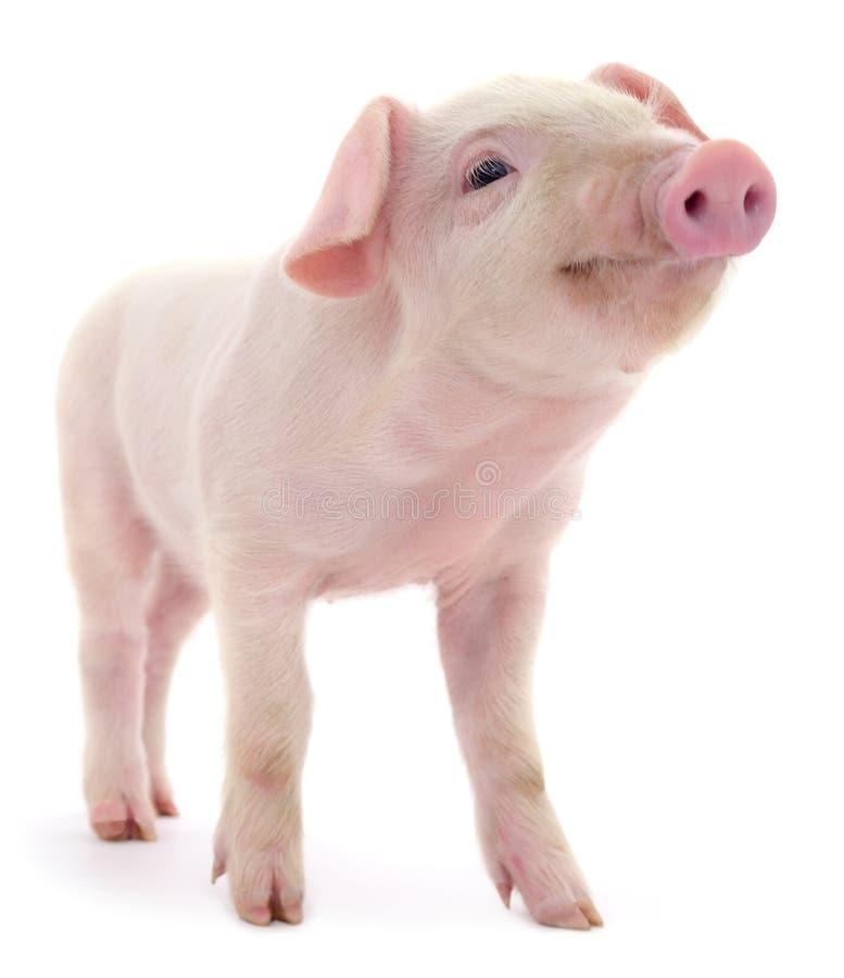 Pig på white arkivfoto
