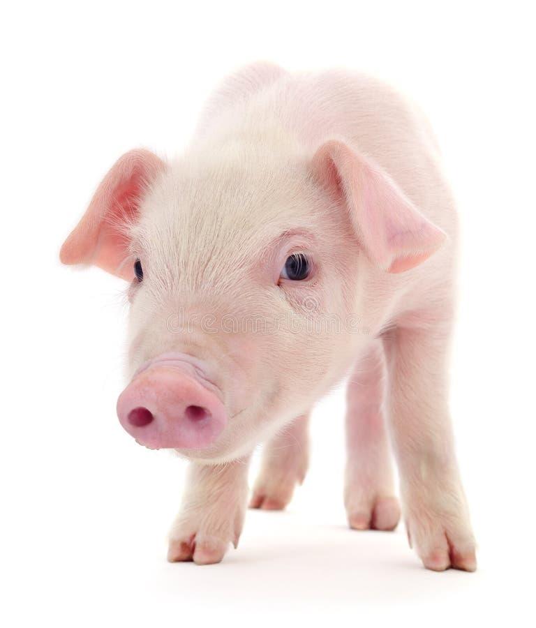 Pig på white arkivbild