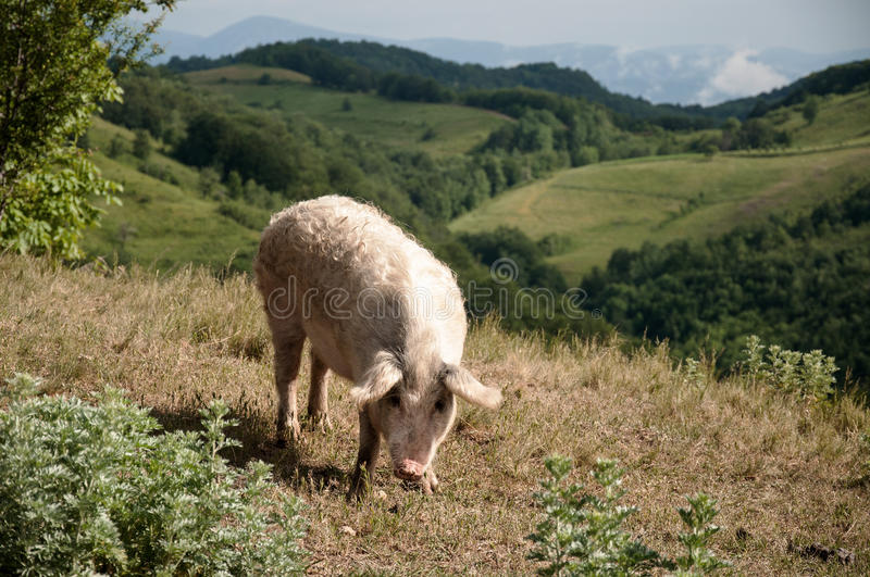 Pig on pasture royalty free stock photo