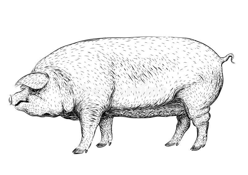Pig2Pig, swine, hog sow piggy piglet piggie pigling brawn boar g. Pig, swine, hog sow piggy piglet piggie pigling brawn boar grown big cute eco farm animal snout stock illustration