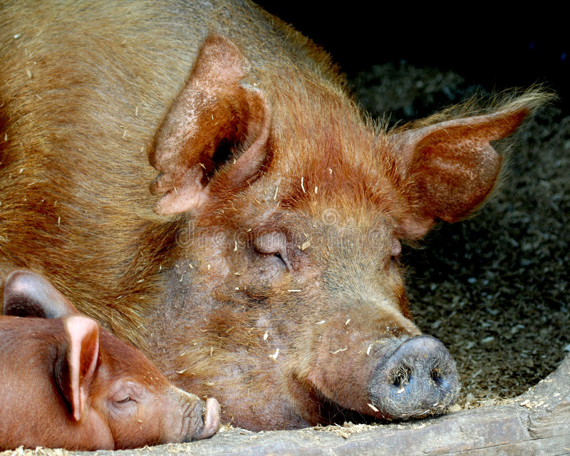 Pig and Piglet royalty free stock images