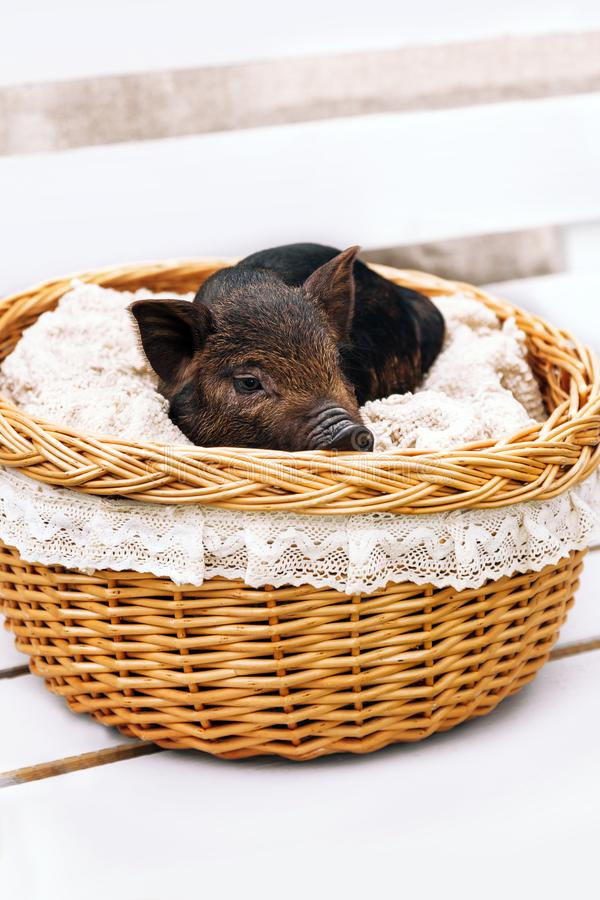 Pig piglet little black basket white background wicker cute Vietnamese breed new year happy stock photo