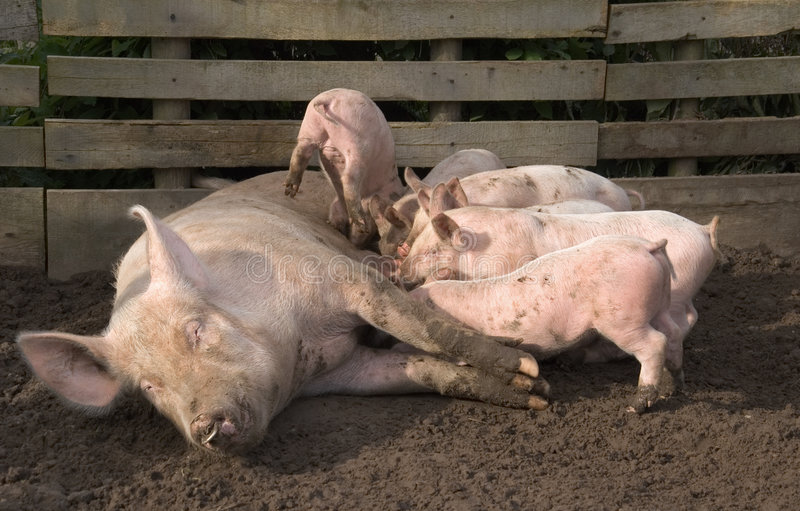 Pig and piglets royalty free stock photos