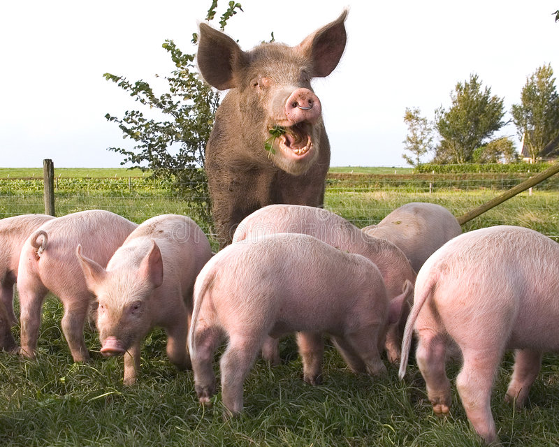 Pig and Piglets in Meadow stock images