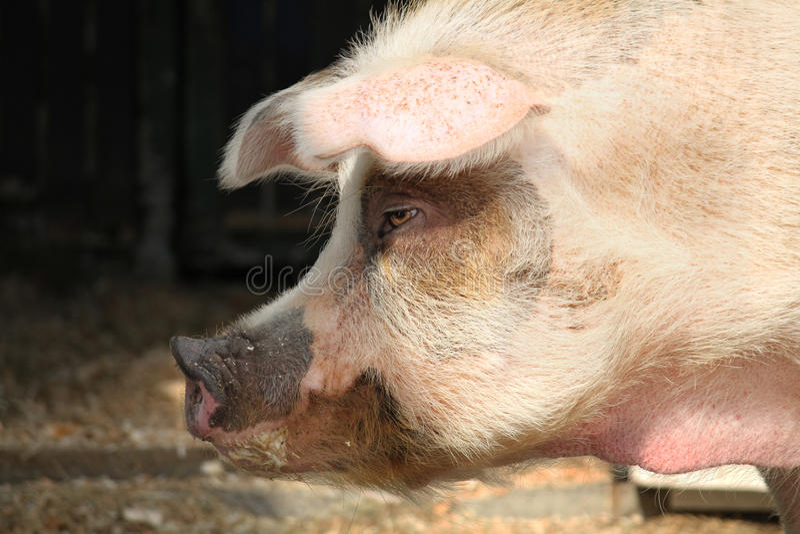 Download Pig portrait stock photo. Image of scrofa, mammal, orange - 23936100