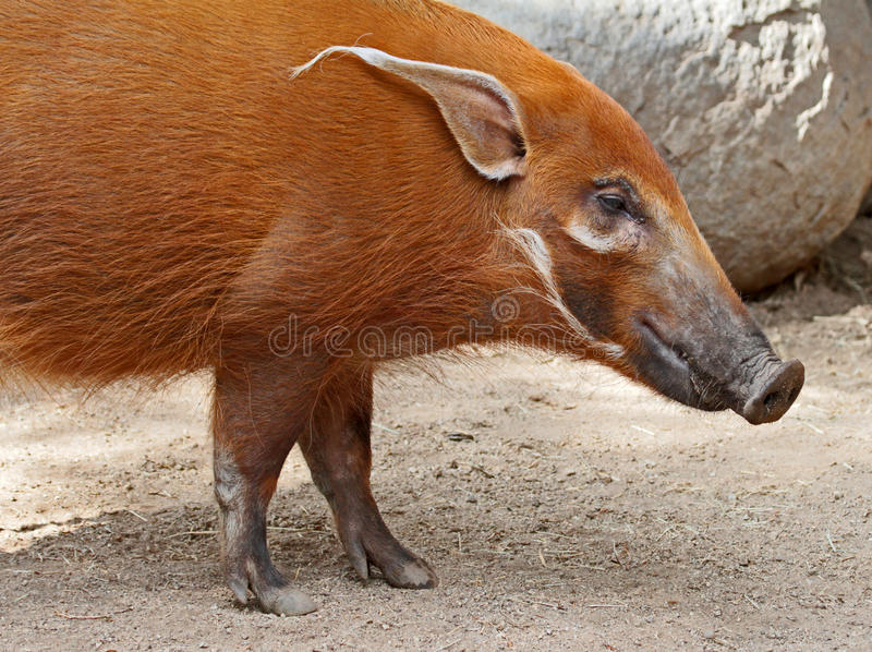 Pig. Red River Hog Close Up Face Profile royalty free stock images