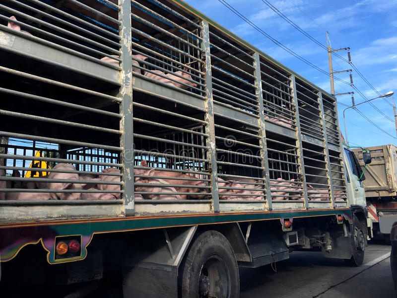 Pig in a truck. Pigs in a trailer ready to be transported to the factory in Thailand stock images